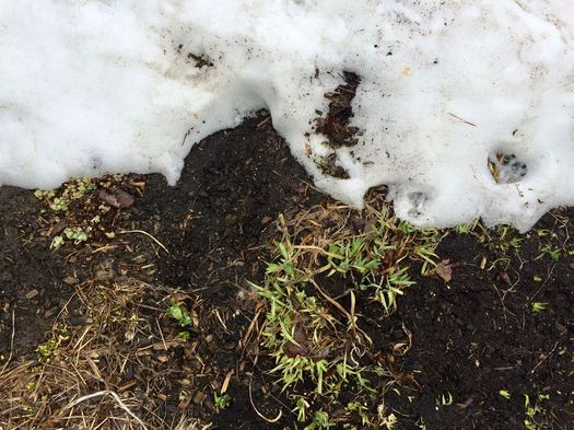 dirty snow and iris poking through dirt