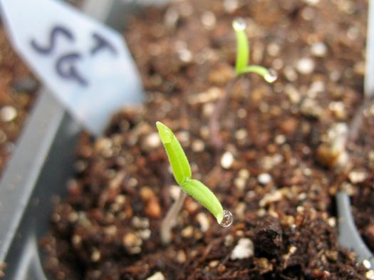 sun gold tomato sprout