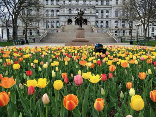 tulip bed in front of Capitol