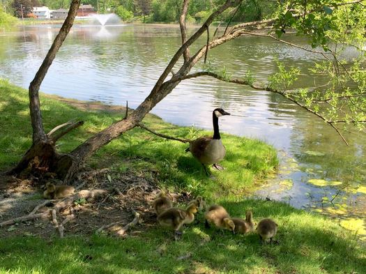 Buckingham Pond geese goslings 2017-05-18
