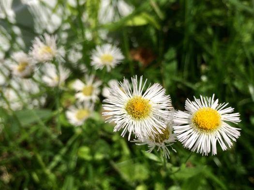 tiny daisies fleabane