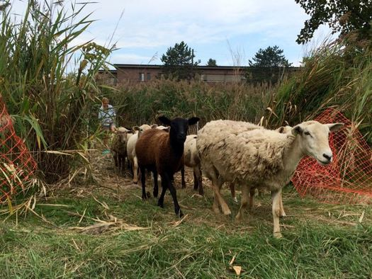 Tivoli Community Farm sheep walking