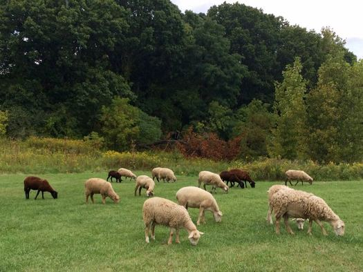 Tivoli Preserve Community Farm sheep grazing