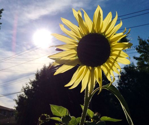 sun and sunflower