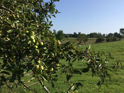Samascott cider orchard cow pasture