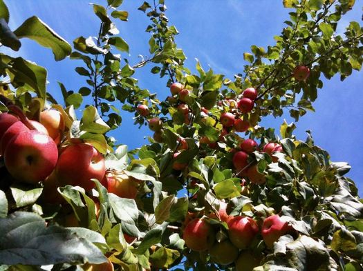 apples looking up at tree blue sky