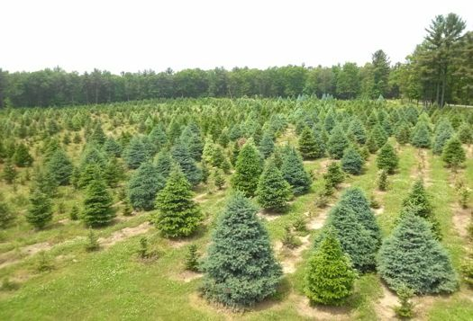 Christmas tree farm 2.jpg