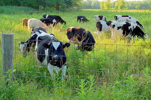 Cows_Madeo_Soapbox.jpg