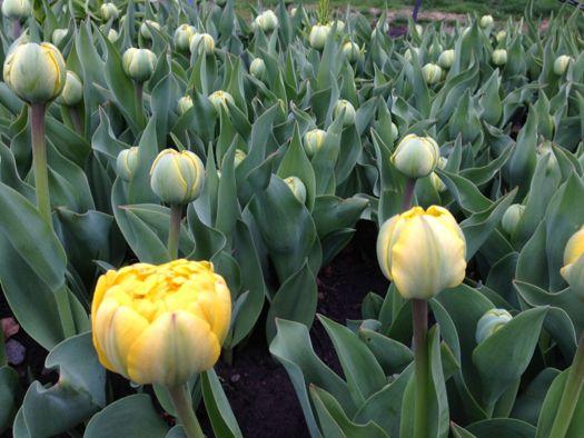 Early tulip 2014.jpg