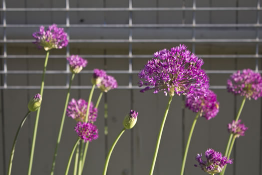 Emily_Menn_Troy_urban_garden_flower_closeup.jpg