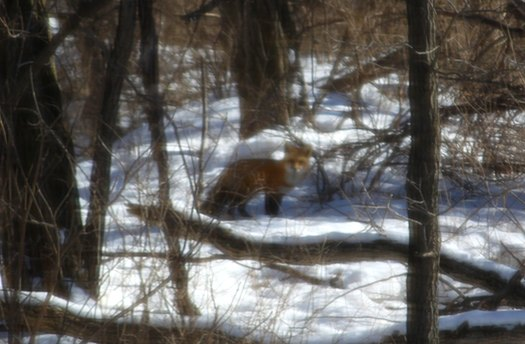 Fox Stalk