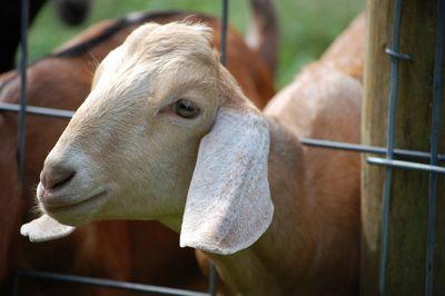 Goat on Wascho cheese tour - Tim Dawkins.jpg