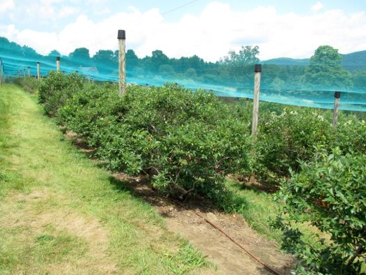 Great Barrington Windy Hill Blueberry bushes.jpg
