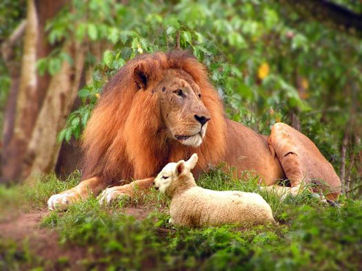 Lion:Lamb flickr dtcchc.jpg