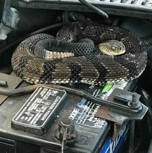 NYS DEC rattlesnake car battery