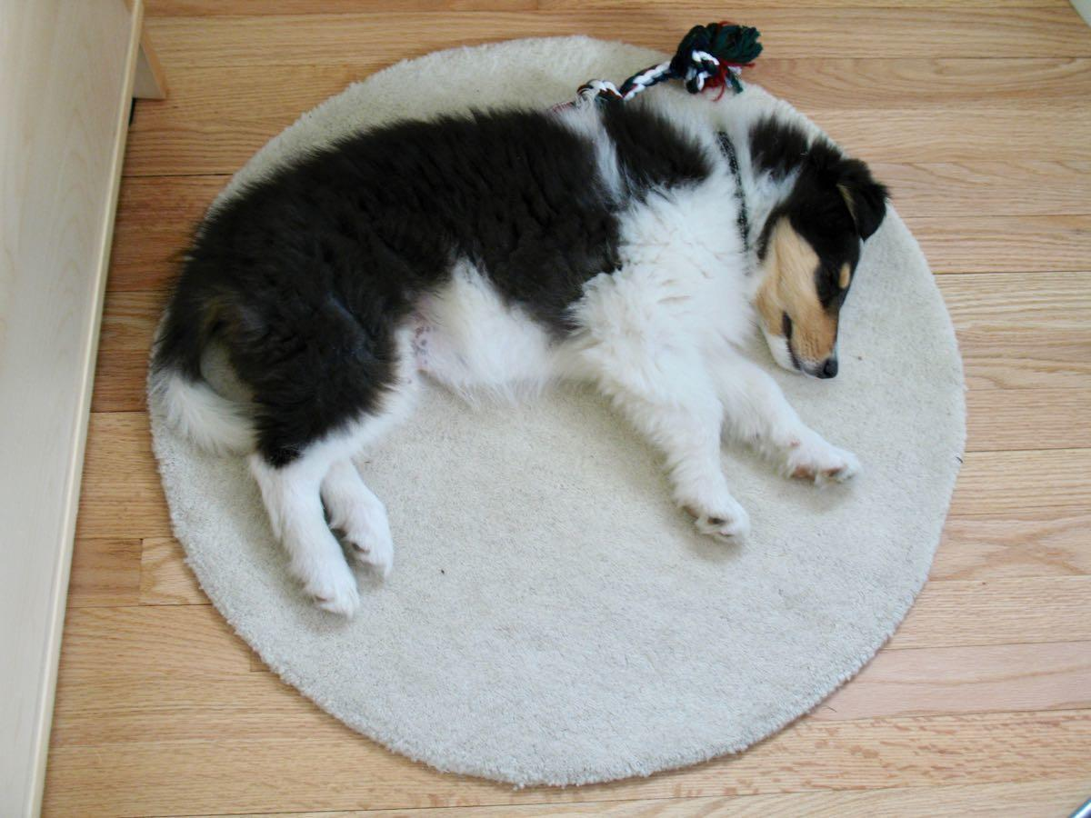 Otto as a puppy on circle rug