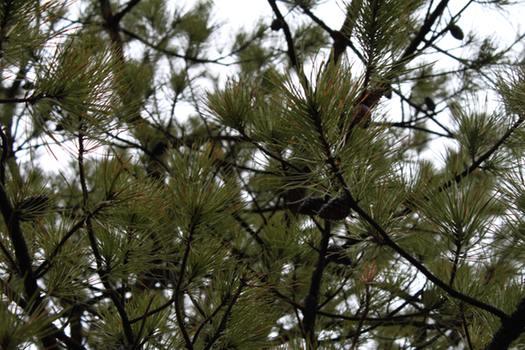 Pine Bush Pine