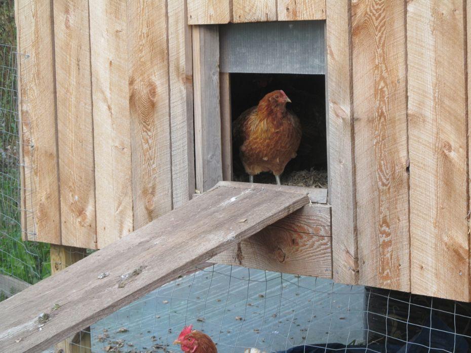 Radix 2012 chicken in house.jpg