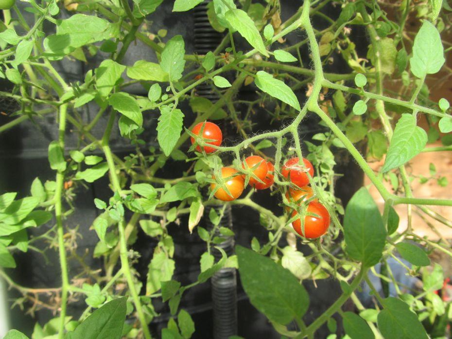 Radix indoor tomatoes cu.jpg