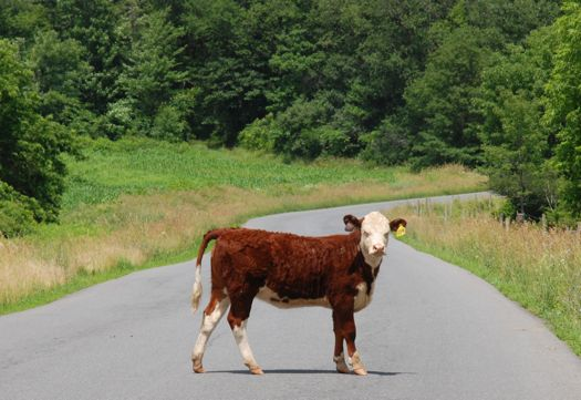 Roli's Cow