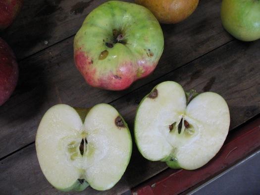 Samascott_Calville_Blanc_apple.jpg