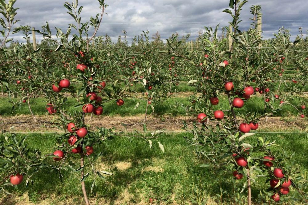 Samascott apple orchard Kinderhook 2018-September
