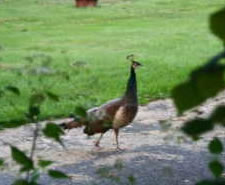 Schenectady peacock sighting