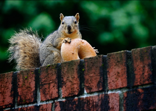 Squirrel with bagel.jpg