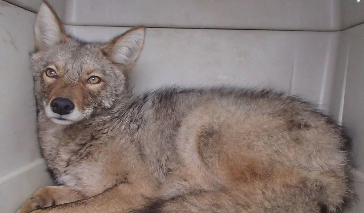State Museum coyote closeup