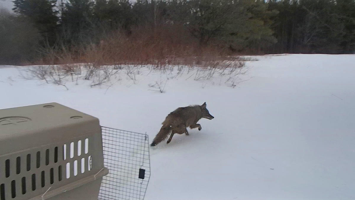 State Museum coyote release