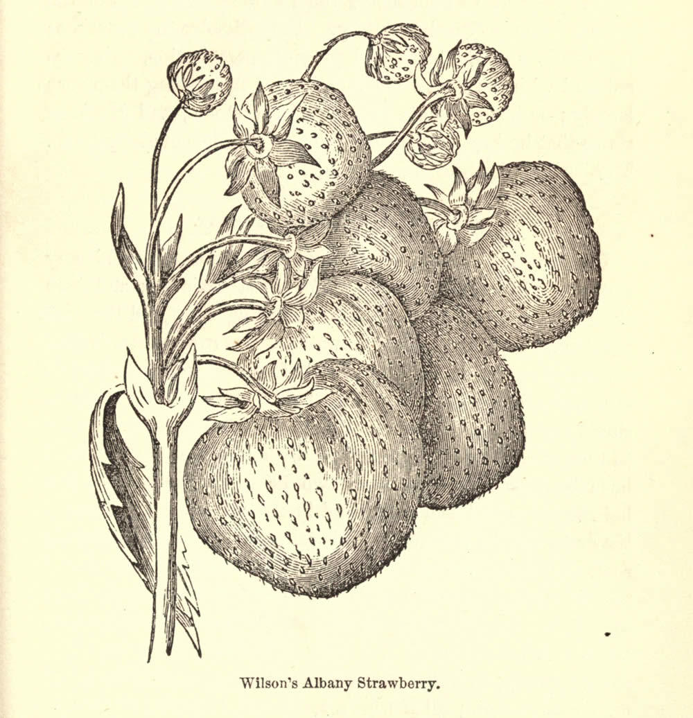 The_American_gardener's_assistant_Wilsons_Albany_strawberry.jpg