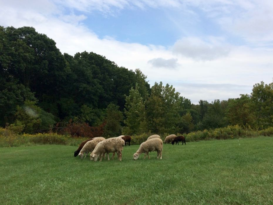 Tivoli_Preserve_Community_Farm_sheep_7.jpg