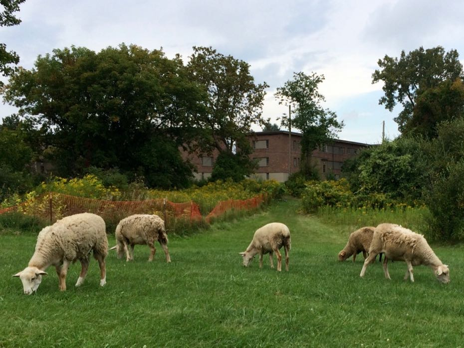 Tivoli_Preserve_Community_Farm_sheep_8.jpg