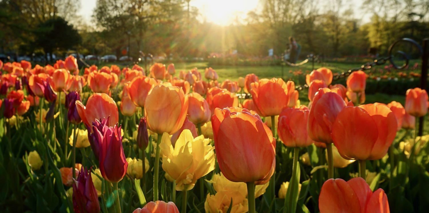 Washington Park tulips at sunset
