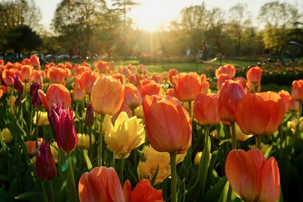 Washington Park tulips and sunshine