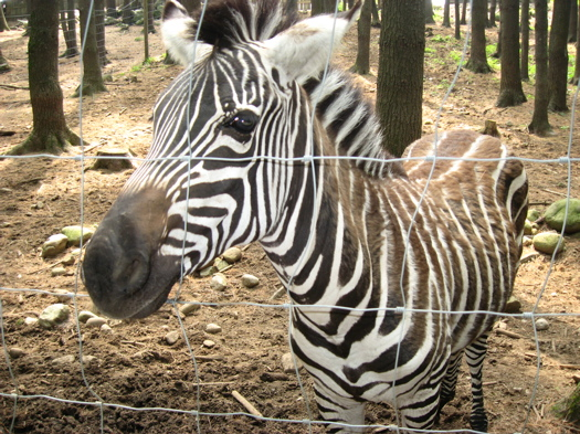 Zebra at Animal Land.jpg