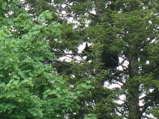 albany bear rose ct 2014-05-27
