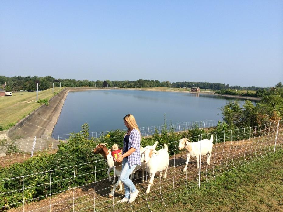 albany_loudonville_reservoir_goats_02.jpg