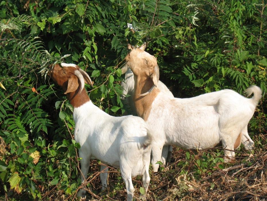 albany_loudonville_reservoir_goats_04.jpg