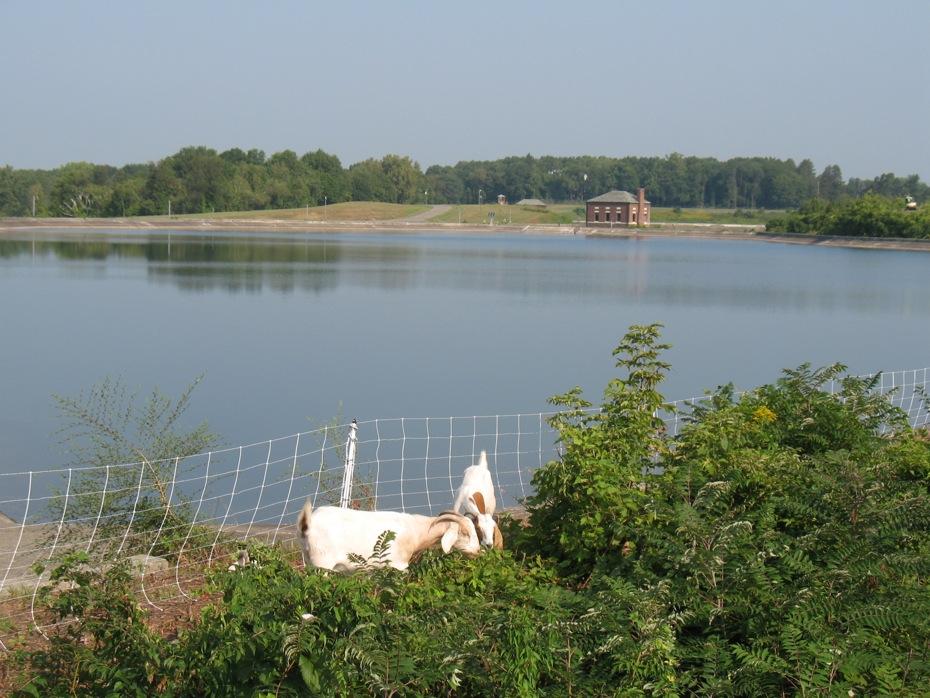 albany_loudonville_reservoir_goats_05.jpg