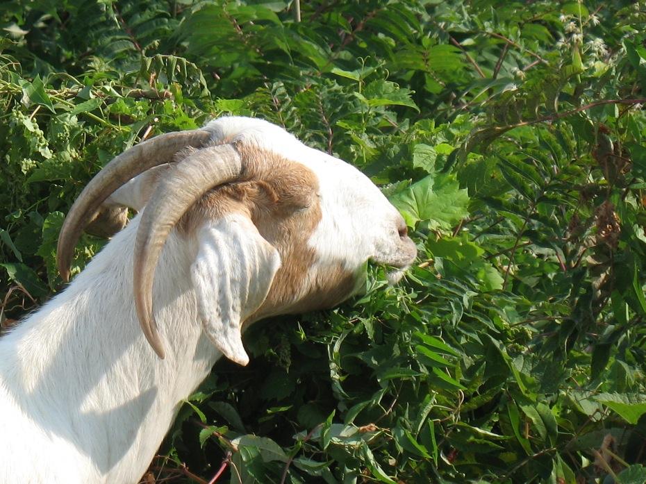 albany_loudonville_reservoir_goats_06.jpg