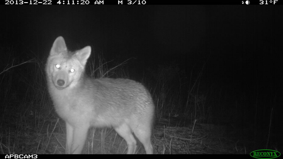 albany pine bush camera trap coyote