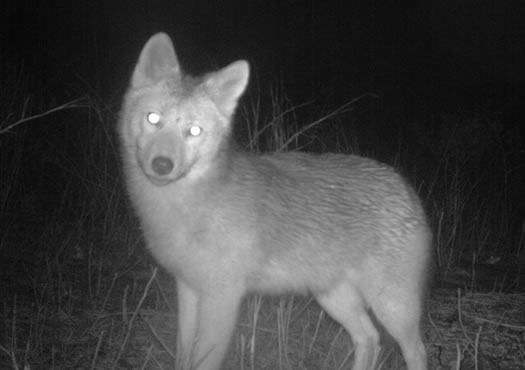 albany pine bush camera trap coyote cropped