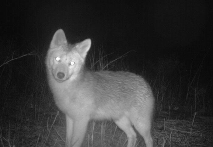 albany pine bush coyote camera trap 2013-December
