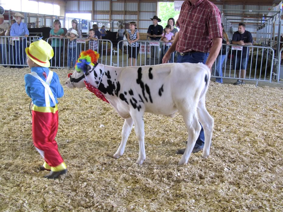 altamont_fair_2013_4-H_cows_clown.jpg