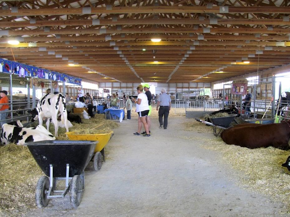 altamont_fair_2013_4-H_cows_path_to_show_ring.jpg
