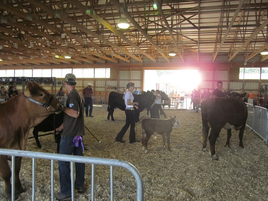 altamont_fair_2013_4-H_cows_show_ring_sun.jpg