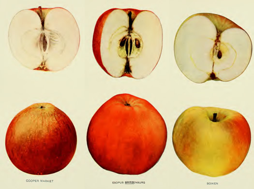 apples_of_new_york_illustrations.jpg