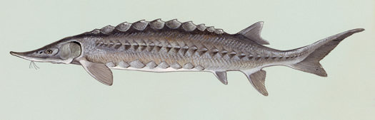 atlantic sturgeon illustration