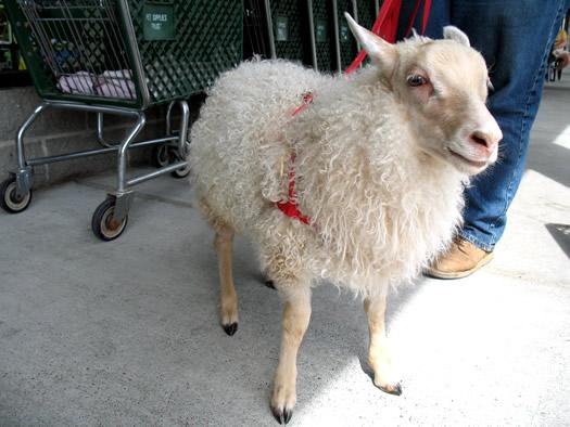 baba sheep